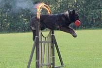 Fena německého ovčáka Gita se na ašském kynologickém cvičišti nezastavila ani před hořící obručí.