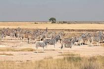 Zebry v národním parku Etoša.