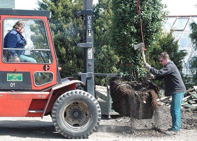 Osekávání kořenového systému je přípravou do nových květináčů.