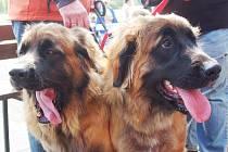 Základní kynologická organizace v Karlových Varech pořádá v pořadí již 23. ročník Krajské výstavy psů všech plemen.