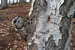 Stromy v karlovarských lázeňských lesích vytvářejí zajímavé úkazy.