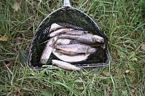 Otrávený potok. Čtvrteční otrava Vitického potoka způsobila škody na rybí obsádce. Nyní se sčítají škody, které znečištění potoka způsobilo.