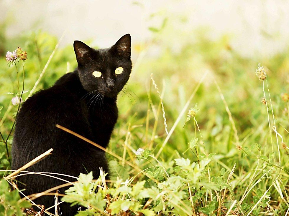"""ČERNÁ KOČKA smůlu tentokrát skutečně přinesla. Na řidiče """"praskl"""" pojišťovací podvod, v němž měla hrát roli právě kočka přebíhající přes cestu."""