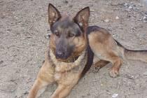 Policejní pes Chiko.