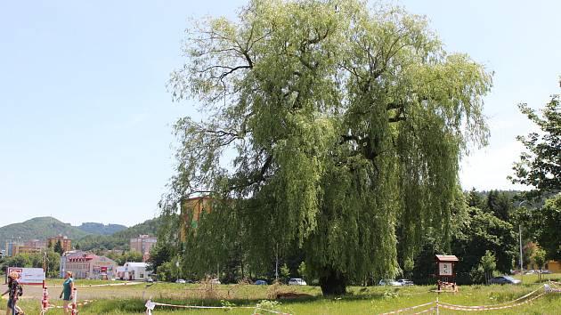 Smuteční vrba v karlovarské části Tuhnice přišla kvůli silnému větru o jednu ze svých větví. Vzhledem k velikosti stromu a rozsahu poškození jí teď hrozí i zánik.