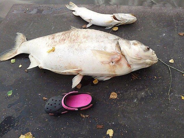 Mezi uhynulými rybami byl i tento více než metr dlouhý tolstolobik