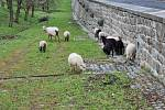Ovce zajistí údržbu travnatého porostu a nahradí tak sekání a hrabání.