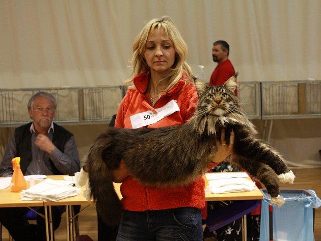 Výstava koček zaplní 14. a 15. dubna Lidový dům ve Staré Roli. Lidé se mohou těšit na celou řadu plemen těchto krásných zvířat.