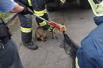Odchyt lišky, která zabloudila do mateřské školy v Toužimi.