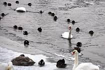 Řeka Ohře u Chebského mostu v Karlových Varech. Také zde je k vidění řada vodních ptáků, mězi kterými jsou nejvýraznější bílé labutě.