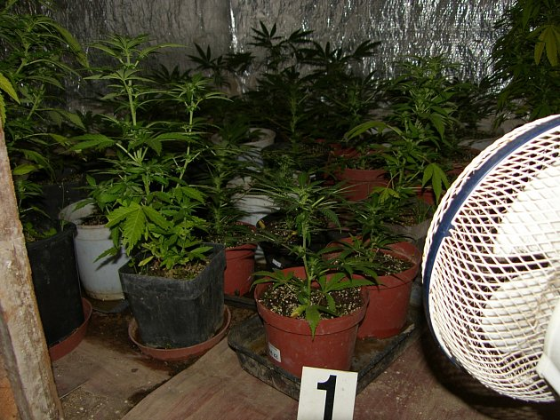 Policejní zátah se týkal pěstování marihuany.