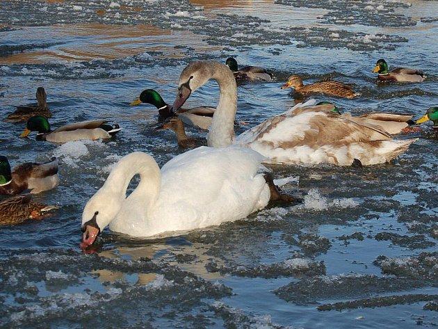 Vodní ptáci na Ohři v Karlových Varech