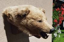 Medvědí hlava, kterou senior nabízel k prodeji.