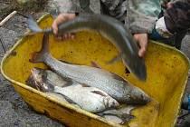 Aby se rybáři dočkali i v řece takových úlovků, jako tomu bylo v Novorolském rybníku, vypustili do řek nové ryby.