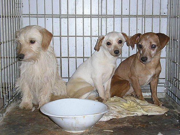 Třináct zubožených psů přežívalo v domku vážně nemocné ženy, která se o ně nebyla schopna řádně postarat. Pejsky po její smrti odchytili členové občanského sdružení Ostrovský Macík a nabízejí je veřejnosti k odběru.