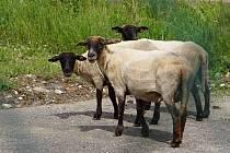 ŽIVÉ SEKAČKY. Tři ovce z Chebska se budou v létě starat o údržbu některých zelených ploch v areálu krajského úřadu.