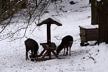 Hlavní složkou zimní potravy je pro jelení zvěř seno.