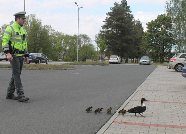 Bezpečnou cestu k řece zajistili pro kachní rodinku policisté.