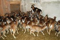 DIVOKÁ ELEGANCE. V oboře v Hájku bylo odchyceno 47 kusů mufloní zvěře.
