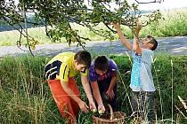 SBĚRAČI jablek obsadili krajnice v regionu. Moštárny v Karlovarském kraji otevřou za pár dní a každá kapka nápoje bez konzervantů se bude hodit.