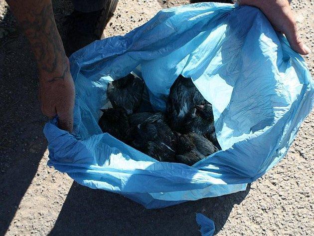 DESET ŽIVÝCH HOLUBŮ, které pracovníci odchytové firmy odchytili v Sokolově, zavřeli do igelitového pytle. Tím porušili zákon o ochraně zvířat proti týrání. Přestupek dořeší pracovníci sokolovské radnice.