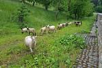 Ovce v sadu se vzácnými odrůdami ovocných stromů.