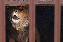 Brutus, lev Zádamských.