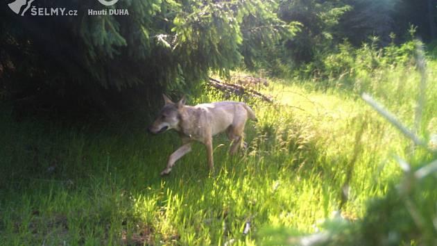 Vlk zachycený fotopastí v Krušných horách.
