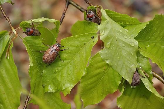 Rojení chroustů. Spásají listy stromů a kladou do půdy vajíčka.