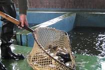 Vylovené ryby z rybníka sádkaři opečovávají, aby byly připravené na vánoční trh. Jak sami vidíte starat se o tolik rybiček není žádná hračka