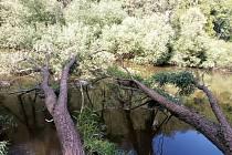 V Českém Šternberku padla do řeky Sázavy mohutná vrba.