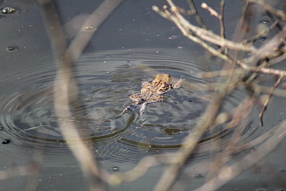 Za žabích námluv v nádrži ve Zvěstově.