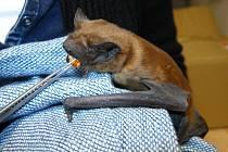 Krmení netopýra rezavého, který se do záchranných stanic dostává často kvůli zničení zimního úkrytu v dutině stromu.
