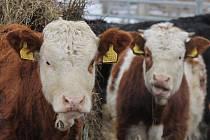 Švýcarskému plemenu krav Simentál mrazy a sníh nevadí.
