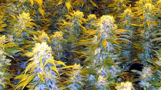 Hydroponní pěstírna marihuany. Ilustr.foto.