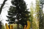 Vzácný sekvojovec místo pily čekalo přesazení do vlašimského zámeckého parku.