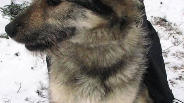 Kříženka německého ovčáka, vlkošedá fenka, byla nalezená 21. listopadu v Bedrči u Benešova.