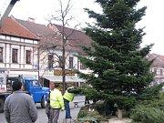 Jedle ze zahrady v benešovské ulici Ke Stadionu putovala na Masarykovo náměstí.