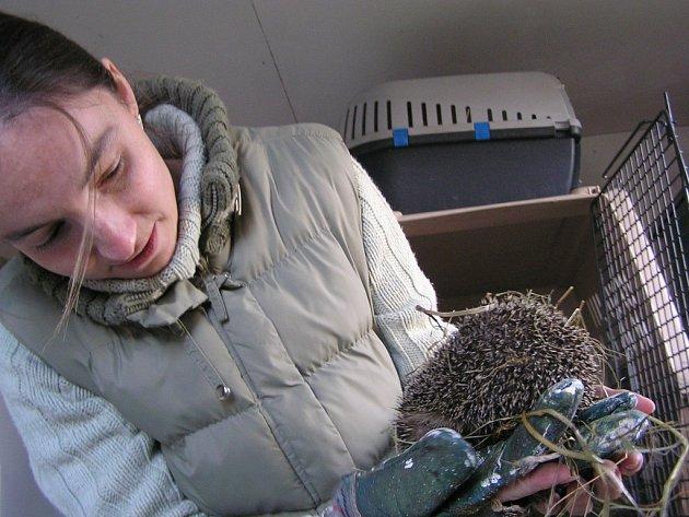Nejčastěji zachraňovanými zvířaty v zimě jsou ježci.