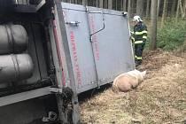 Nehoda nákladního auta s prasaty u Trhového Štěpánova. Některá se rozutekla do lesa.