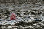 Zimní plavci se rozloučili se starým rokem a přivítali nový ve vodě.