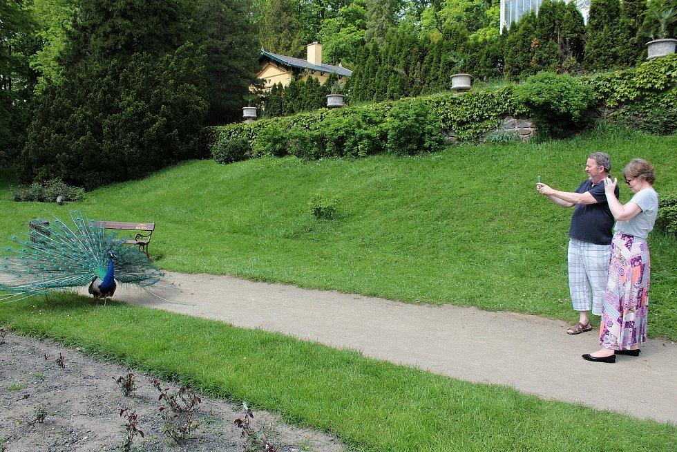 Páv v zámeckém parku na Konopišti.