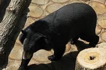 Šestiletý samec medvěda ušatého přicestoval v úterý 10. května na zámek Konopiště ze ZOO Lešná u Zlína.