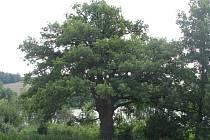 Dominantní strom krášlí silničku mezi Postupicemi a Lhotou Veselkou.