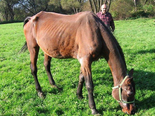 Dříve týraná kobyla se v rukou Josefa Absolona rychle zotavuje