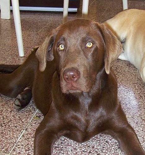 Labrador Gaston