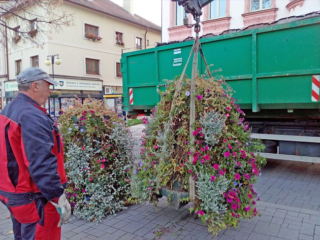 Úklid květináčů se surfiniemi z centra Masarykova náměstí.