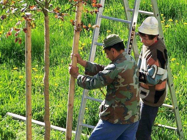 Zajišťování výsadby nových stromů mezi panelovými domy patří k rutinní jarní náplní pracovníků Podblanického ekocentra