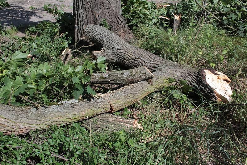 V týnecké ulici K Zeleným vratům vichr zlomil vzrostlý javor. Na lomu je patrné, že strom pomalu chřadnul.