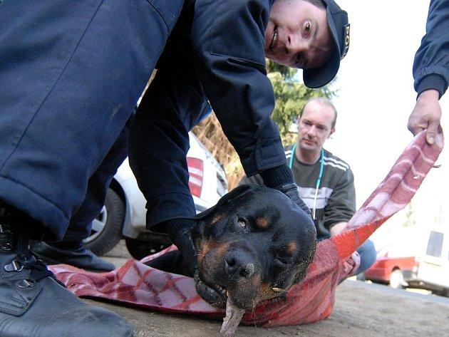 Rozlícené psy musí téměř vždy zpacifikovat policisté. Na sníku odvážejí zastřeleného rotwailera.